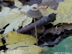 Coprinellus_impatiens_4