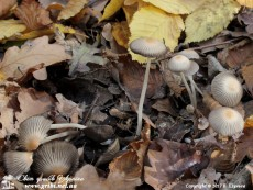 Coprinellus_impatiens_6