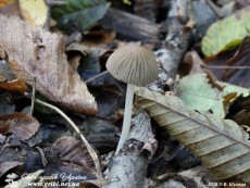 Coprinellus_impatiens_8