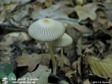 Coprinellus_impatiens_9