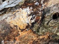 Baltazaria galactina / Бальтазарія молочна