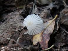 Coprinopsis cortinata / Гнойовик павутинистий